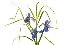 Blue iris. Isolated on white background Stock Images