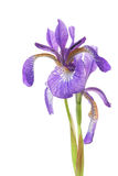 Blue iris. Flower isolated against a white background Stock Photos