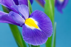 Blue Iris. Close up on blue Iris on blue background Royalty Free Stock Photos