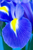 Blue Iris. Close up on blue Iris flower Stock Image