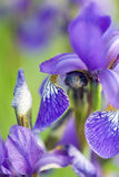Blue iris. Selective focus on a blue iris flower, with yellow markings, and blurred background Royalty Free Stock Photography