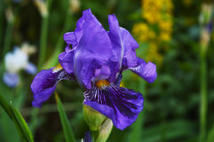 Blue iris Stock Photography