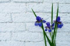 Blue iris against a white wall brick. Blue iris flower against a white wall brick stock image