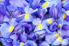 Blue iris background Royalty Free Stock Photos