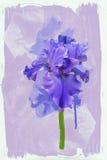 Blue iris Royalty Free Stock Photos