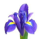 Blue iris. Beautiful light-blue iris isolated on white background close-up Royalty Free Stock Image