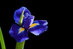Blue iris on black background Royalty Free Stock Image