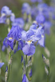 Blue Iris blooming Royalty Free Stock Photo