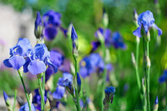 Blue iris blooms Stock Photography