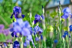 Blue iris blooms stock photos