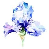 Blue iris botanical flower. Watercolor background illustration set. Watercolour drawing fashion aquarelle isolated. Blue iris. Floral botanical flower. Wild royalty free illustration