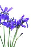Blue Iris Bouquet Stock Image