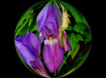 Blue Iris in a Bubble Stock Photo