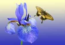 Blue iris and butterfly. On background sky stock photography