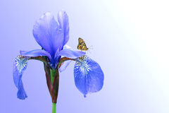 Blue iris and butterfly. On background sky royalty free stock photos