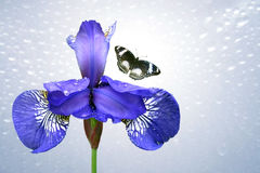 Blue iris and butterfly. On background sky royalty free stock image