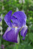 Blue Iris with Dew Royalty Free Stock Photos