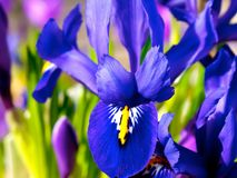 Blue iris. Blue dwarf iris and purple crocus in flowerbed in spring Royalty Free Stock Images