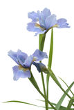 Blue iris flag Stock Photography