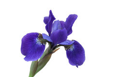 Blue Iris Flower. Isolated on white Royalty Free Stock Photography
