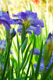 Blue Iris Flower Royalty Free Stock Photography