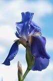 Blue iris flower. Beautiful blue iris flower background. Blue iris flower Royalty Free Stock Photography