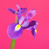 Blue Iris Flower Stock Image