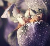 Blue Iris flower Royalty Free Stock Image