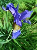 Blue iris flower Stock Photos