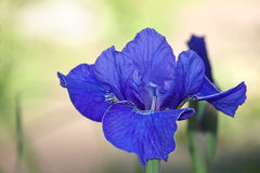 Blue iris. Flower bud in garden Stock Images