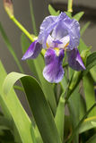 Blue Iris Flower 2 Royalty Free Stock Images