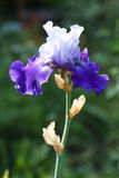 Blue iris flower in the garden. Stock Image