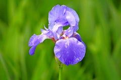 Blue iris flower Stock Images