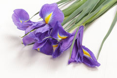 Blue iris flower. Isolated on white backgrounds Royalty Free Stock Images