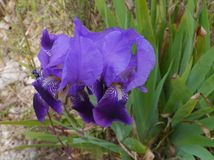 The blue of an iris flower in nature Stock Photos