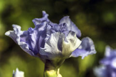 Blue iris flower Stock Photography