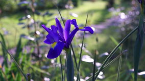 Blue Iris Flower in Spring With Ant.Iridaceae is a family of plants in Order Asparagales, taking its name from the Irises. stock video