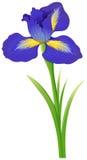 Blue iris flower on white background. Illustration stock illustration