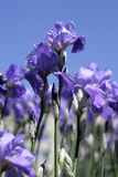 Blue Iris Flowers. Against the blue sky Royalty Free Stock Images