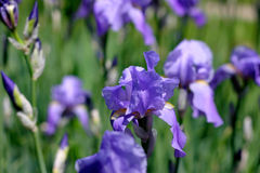 Blue Iris Flowers Stock Photo