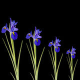 Blue Iris Flowers Royalty Free Stock Photo