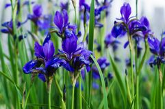 Blue iris flowers against a background of green grass royalty free stock photo