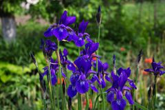Blue iris flowers on blurred background of garden Stock Image