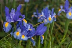 Blue iris flowers Royalty Free Stock Image