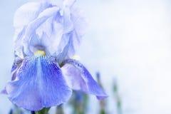 Blue iris flowers close-up on a green garden background. iris flowers grow in the garden. Blue iris flowers close-up on a green garden background. Blue iris stock image