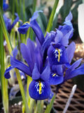 Blue iris. Flowers on display in the greenhouses at Elizabeth park in Hartford, CT Royalty Free Stock Photos