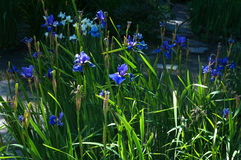 Blue iris flowers on green foliage Royalty Free Stock Photography