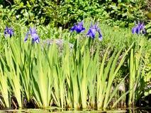 Blue iris flowers Stock Image