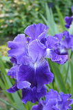 Blue iris flowers. Selective focus Stock Photography