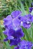 Blue iris flowers Stock Photography